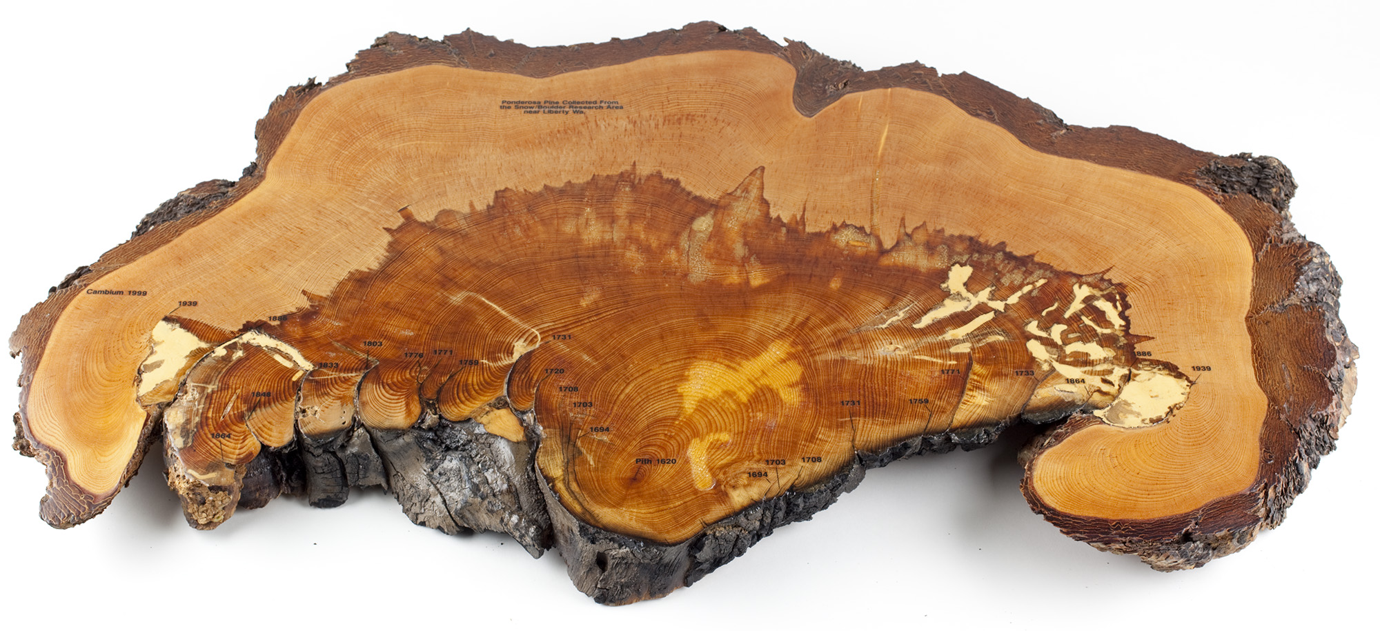 Slice of ponderosa pine log showing fire scars. From Wenatchee Forestry Sciences Lab collection.From Snow Boulder Research Area near Liberty, WA.